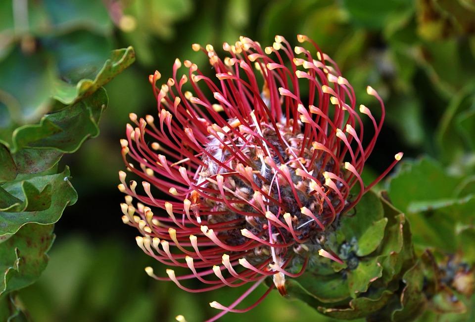 Blossom, Bloom, Pincushion, Australia, Flowering Shrub