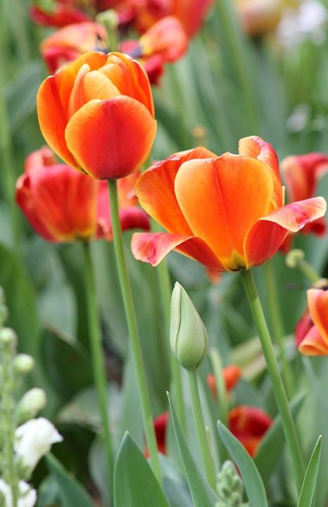 Free photo Bloom Blossom Pink Flower Orange Garden Tulip - Max Pixel