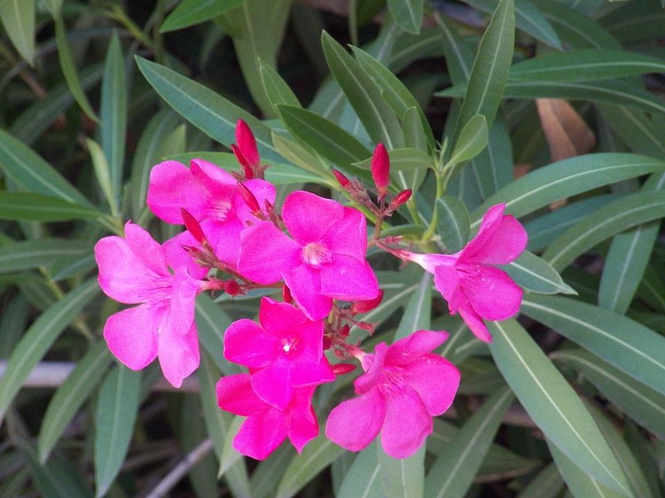 Free photo bloom blossom pink oleander flowers tropical max pixel oleander pink flowers tropical bloom blossom mightylinksfo