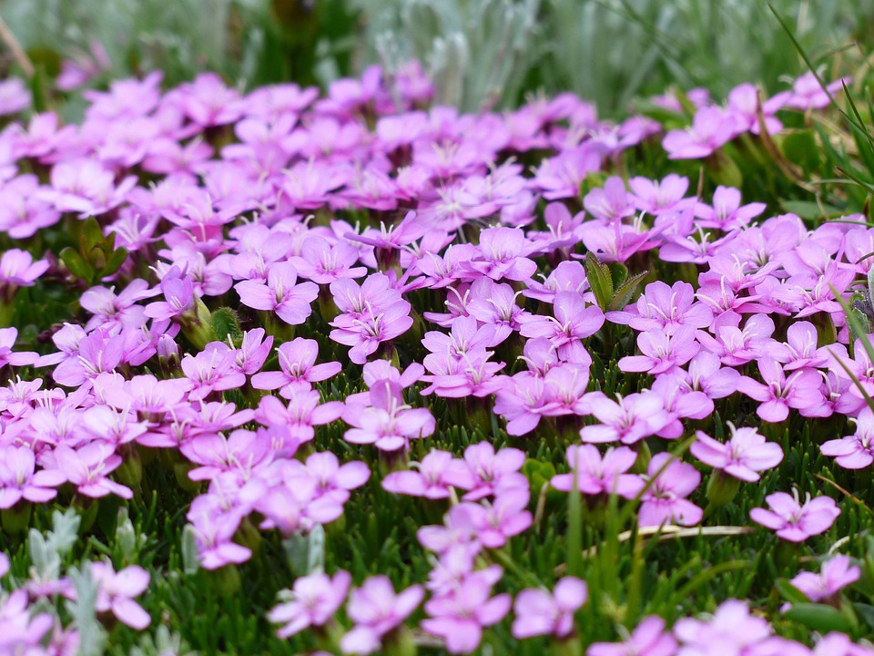 Primula Catchfly, Blossom, Bloom, Pink, Flowers