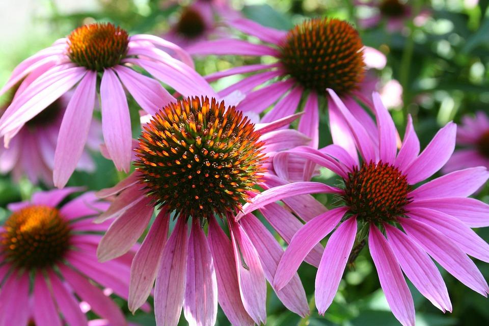 Sun Hat, Pink Sun Hat, Blossom, Bloom, Plant, Flower