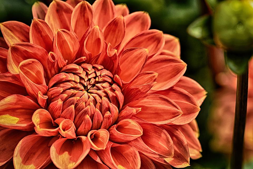 Dahlia, Plant, Flower, Blossom, Bloom, Nature, Petals