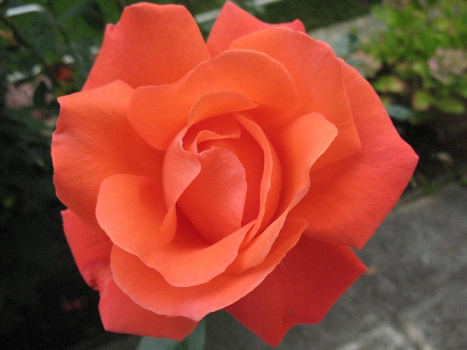 Blossom, Bloom, Rose, Rose Bloom, Beautiful, Beauty