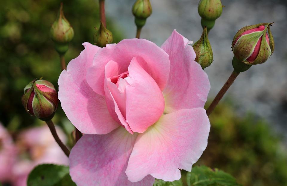 Rose, Rose Bloom, Blossom, Bloom, Fragrance, Plant