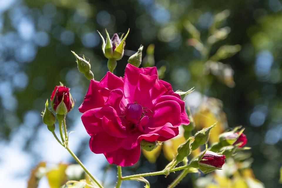 Rose, Flower, Blossom, Bloom, Love, Rose Island