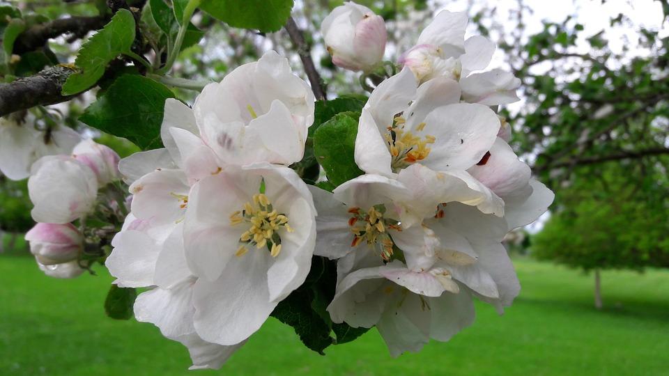 Blossom, Bloom, Apple, Fruit, Spring, Nature
