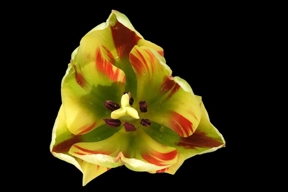 Tulip, Blossom, Bloom, Spring, Flower, Bright