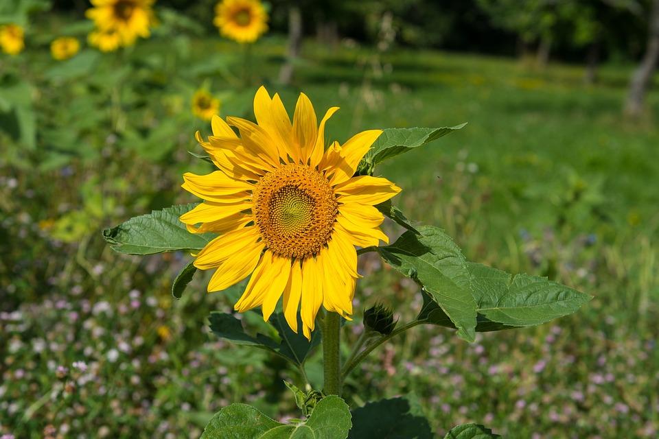 Sun Flower, Sunflower, Plant, Blossom, Bloom, Summer