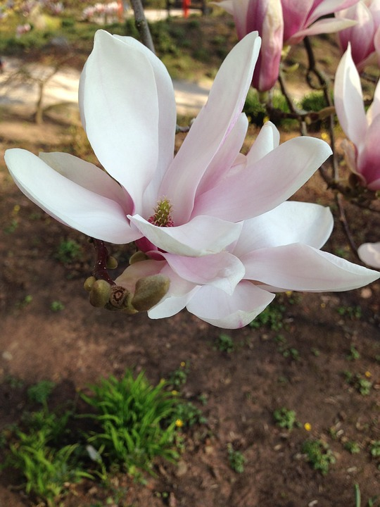 Blossom, Bloom, Tree, Blossom, Ornamental Cherries