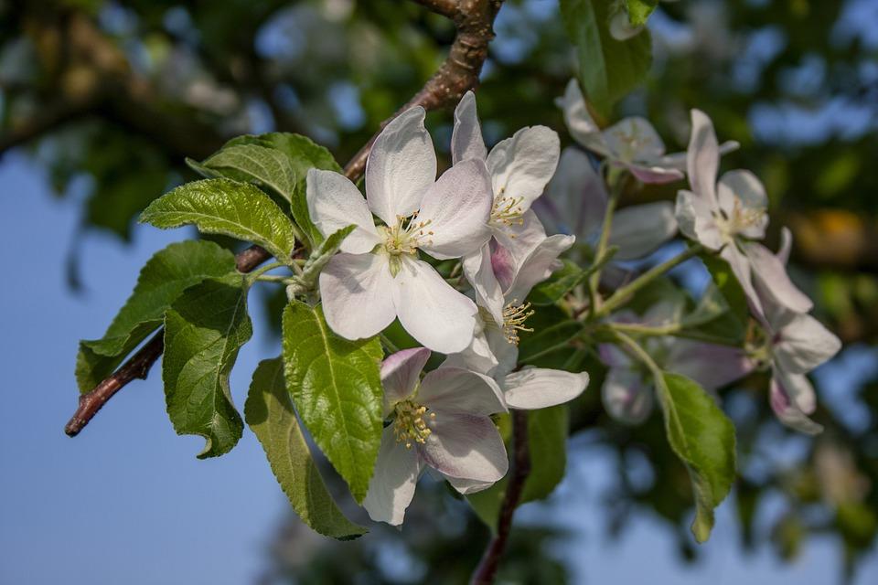 Apple Blossom, Nutzbaum, Blossom, Bloom, White, Tree
