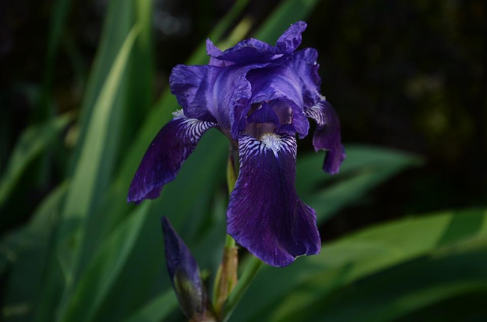 Violet, Flower, Blossom, Bloom, Violaceae, Spring