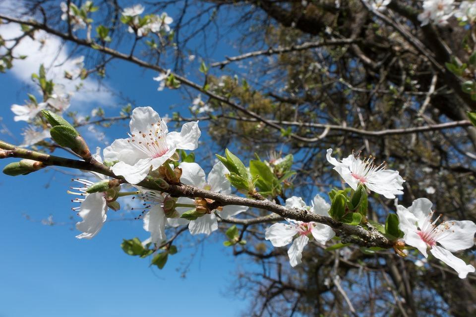 Mirabelle, Blossom, Bloom, White