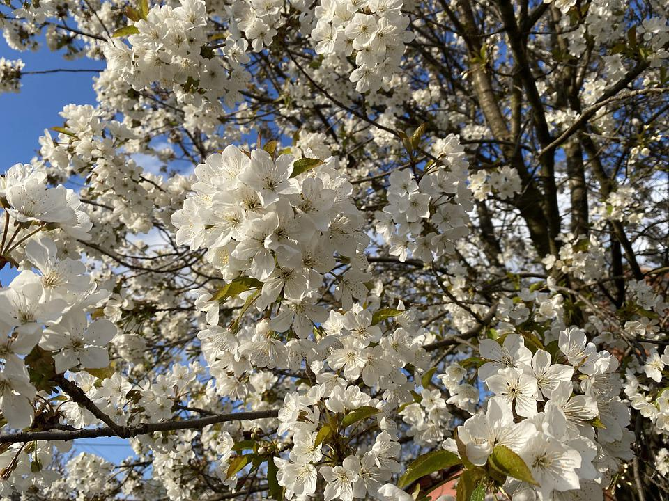 Flowers, White Flowers, Bloom, Blossom, White Petals