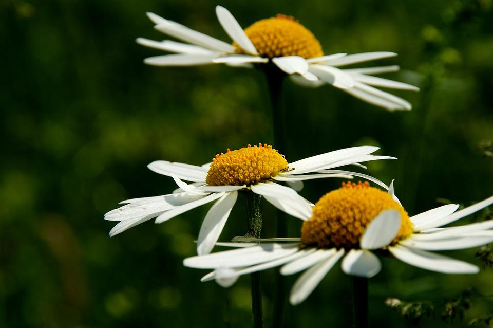 Daisy, Flower, Close, Blossom, Bloom, Yellow
