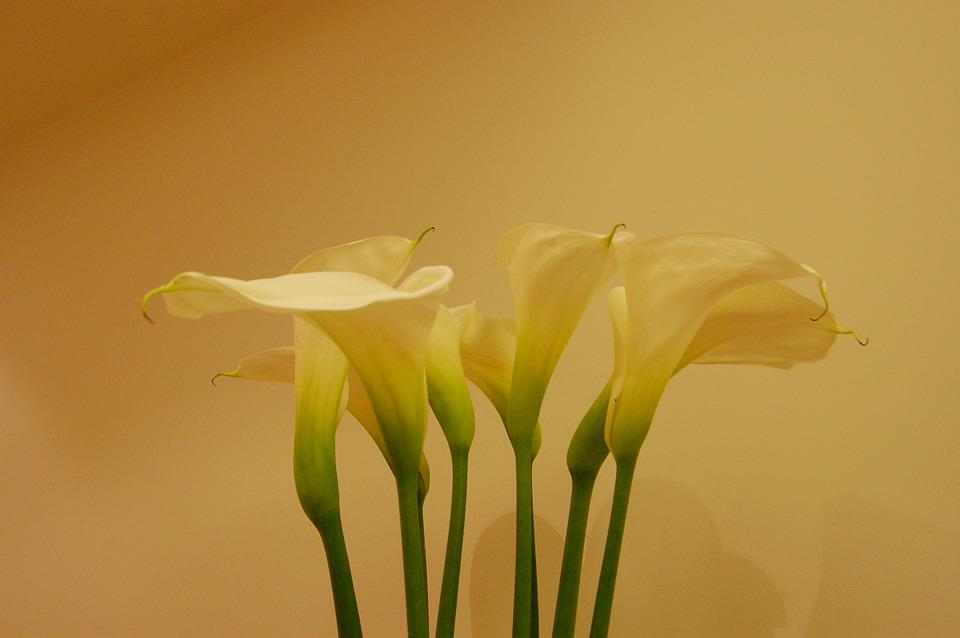 Lilies, Flowers, Cream, Yellow, Bliss, Bloom, Blossom