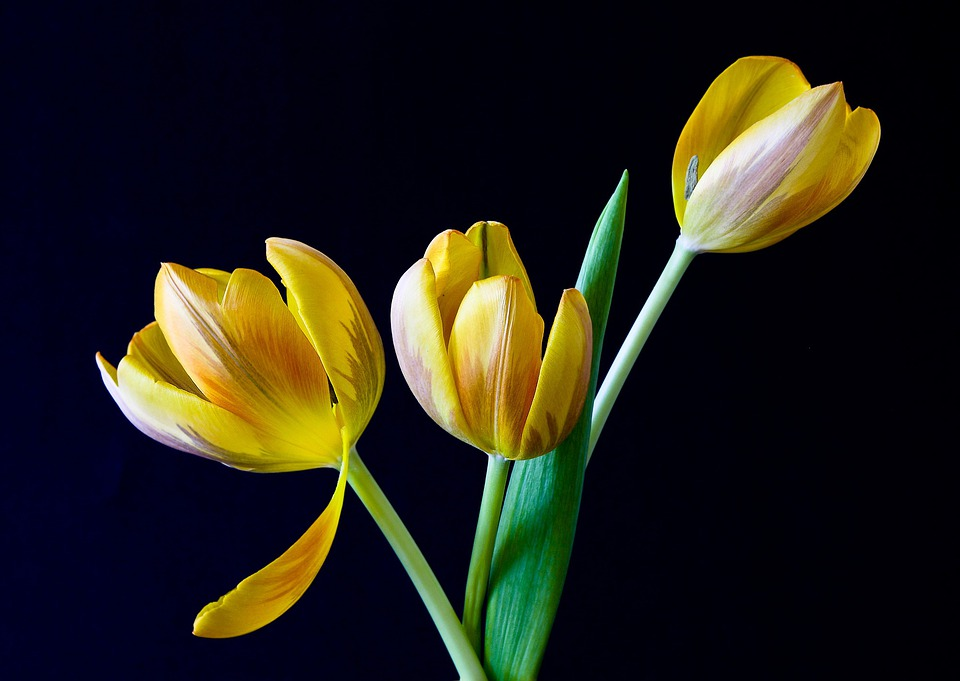 Tulips, Flowers, Plant, Yellow Flowers, Bloom, Blossom