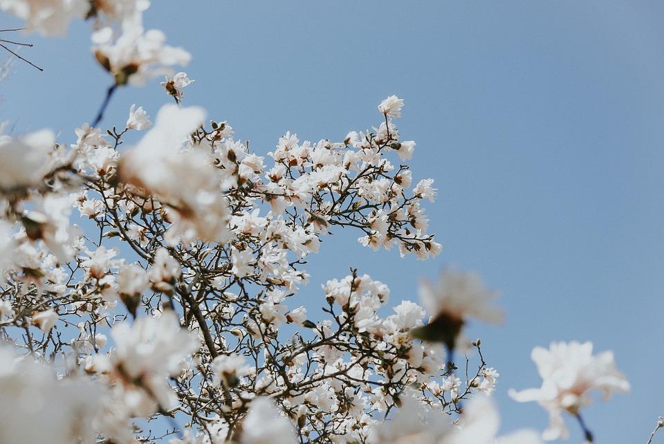 White, Flower, Bloom, Blossoms, Nature, Plant, Blue