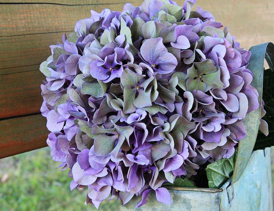 Hydrangea, Flower, Blossom, Bloom, Summer, Blue, Purple