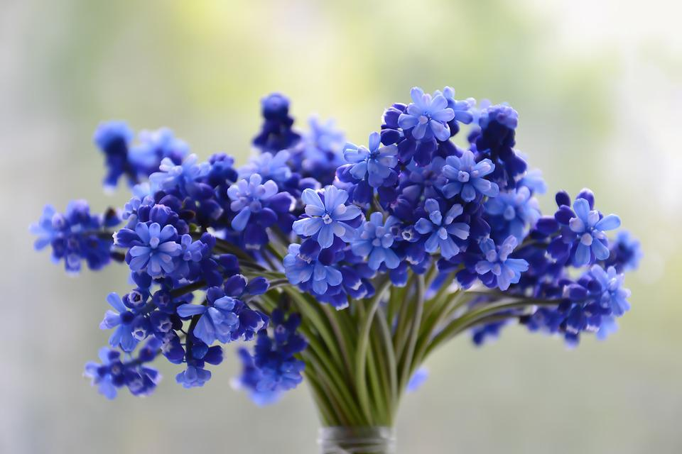 Flowers, Bouquet, Blue, Muscari, Bloom, Colorful