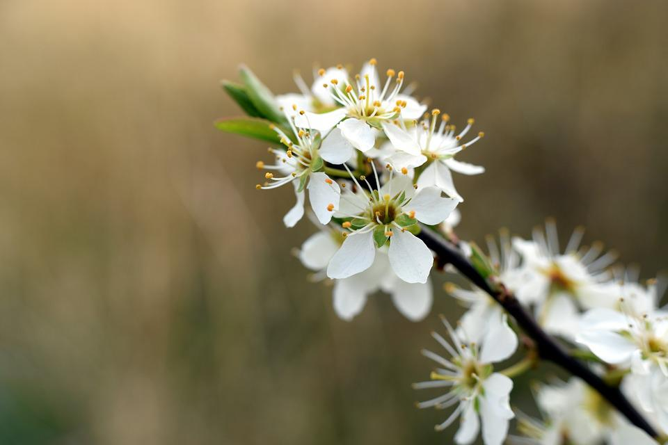 Hawthorn, Blossom, Bloom, Branch, White, Plant, Nature