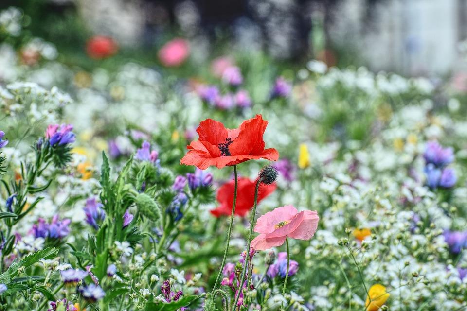 Flower Meadow, Poppy, Blossom, Bloom, Meadow, Bright