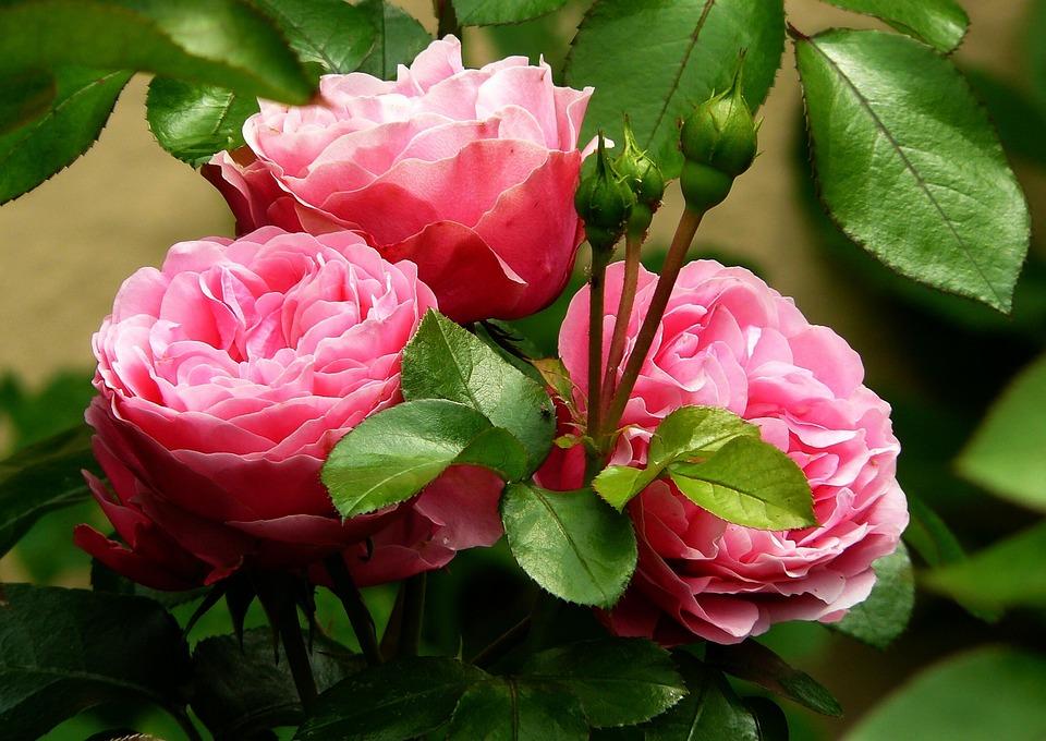 Flowers, Buds, Roses, Pink Roses, Pink Flowers, Bloom