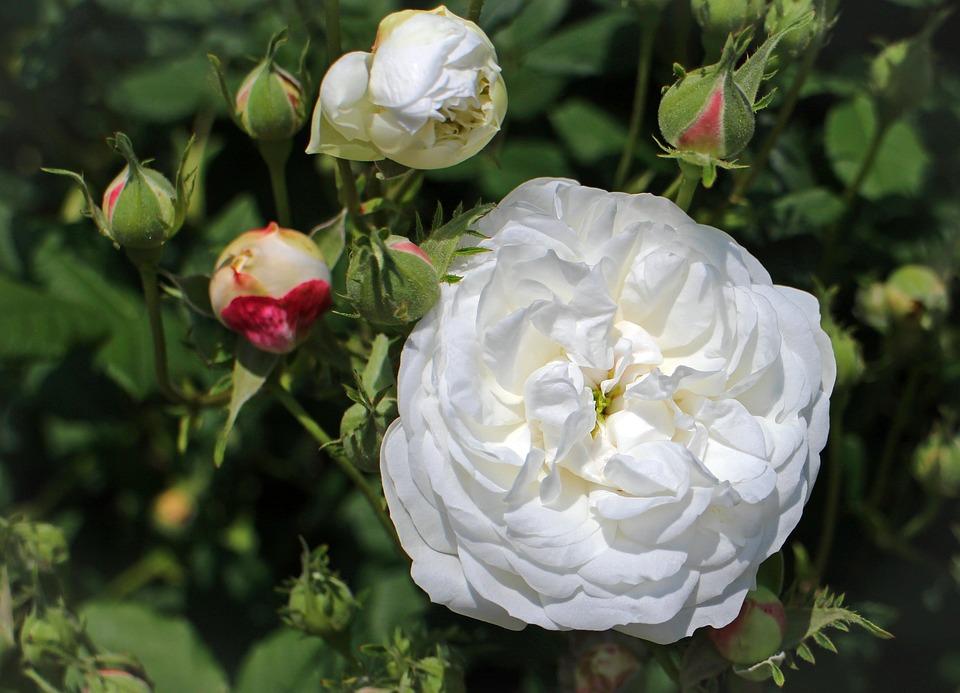 Rose, White, Blossom, Bloom, Rose Greenhouse, Bush
