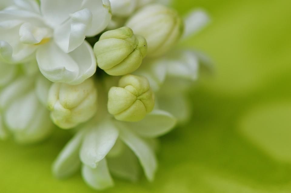 Lilac, White, Plant, Bush, Bud, Blossom, Bloom, Bloom