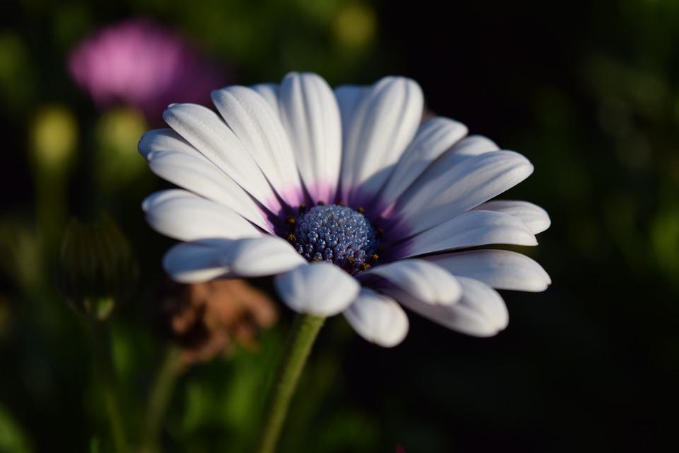 Cape Basket, Bloom, Flower, White, Close, Beautiful