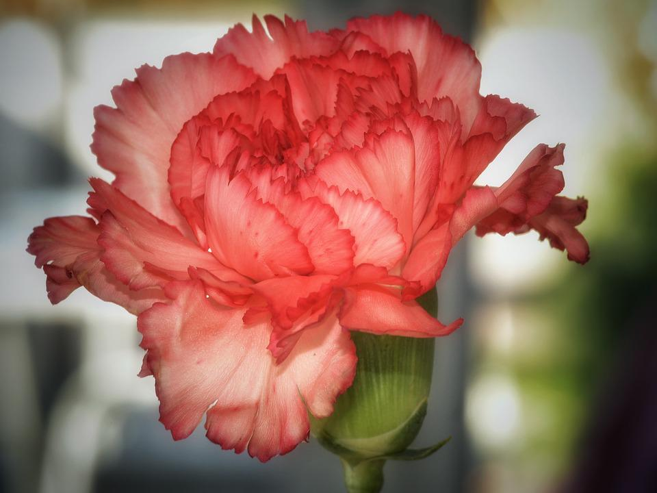Flower, Blossom, Bloom, Macro, Carnation, Close, Nature
