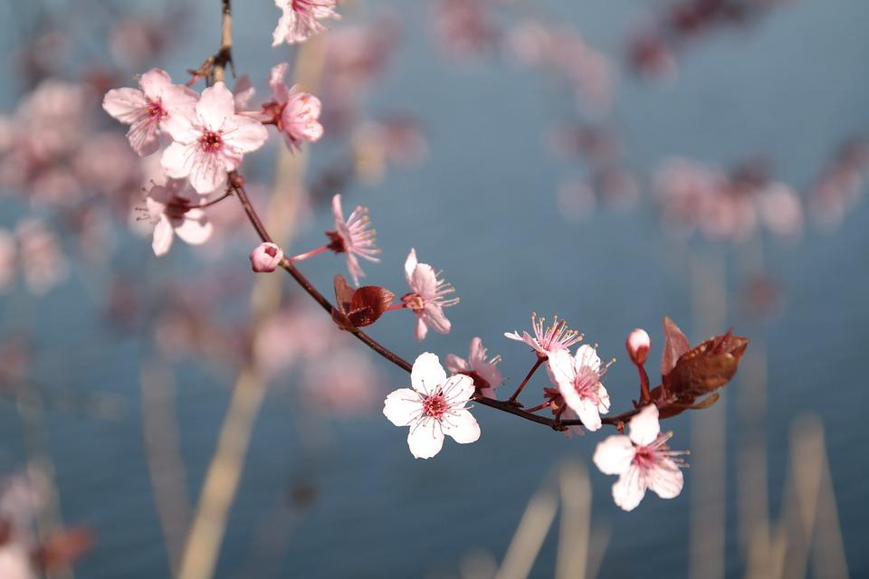 Cherry Blossom, Blossom, Bloom, Spring, Pink, Tree