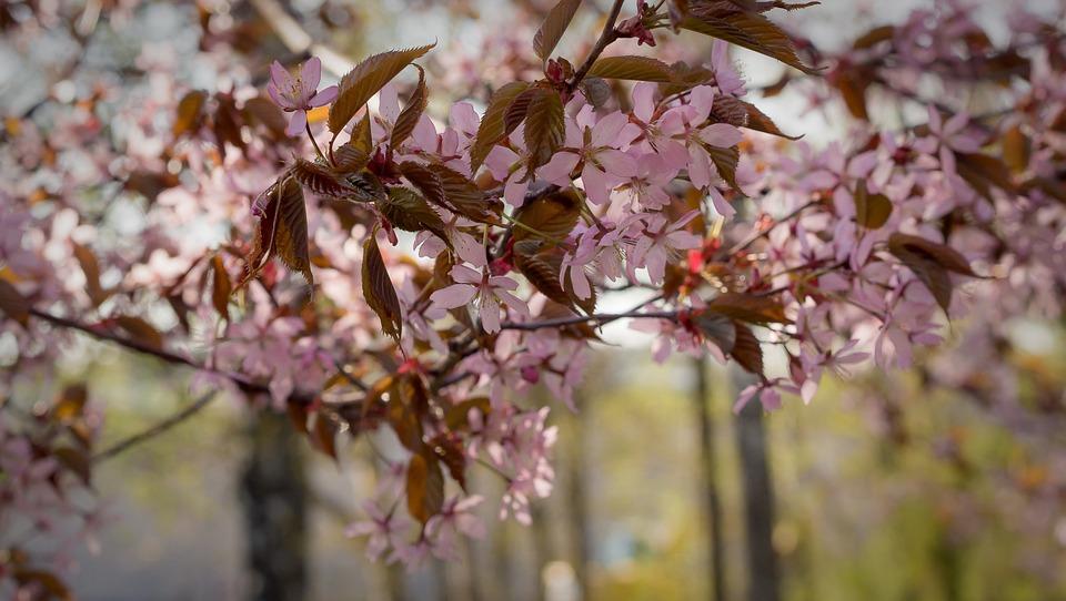 Cherry, Bloom, Flower, Plant, Nature, Pink, Garden