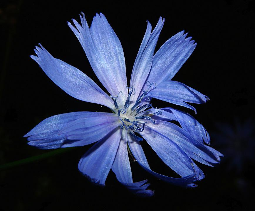 Chicory, Flower, Blossom, Bloom, Blue, Close, Summer