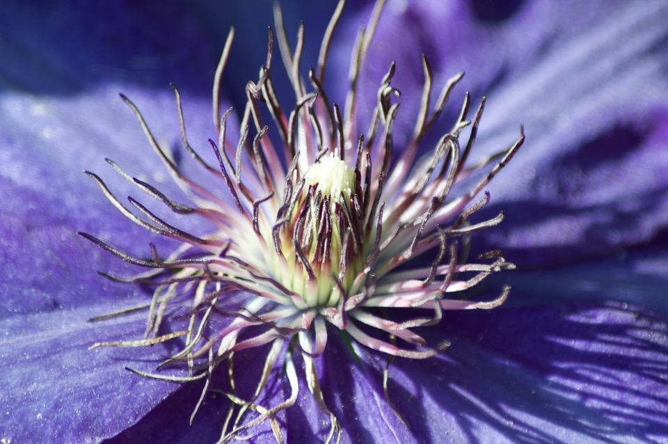 Macro, Clematis, Blossom, Bloom, Flora, Nature, Bloom