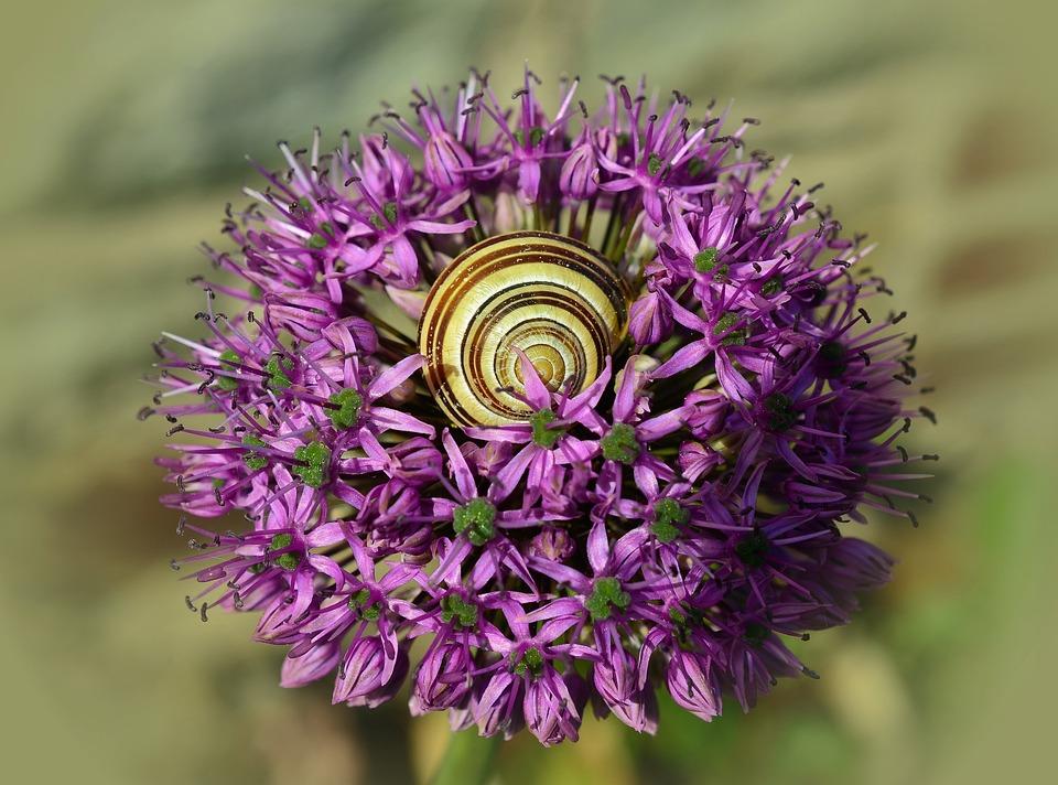 Ornamental Onion, Blossom, Bloom, Shell, Macro, Close