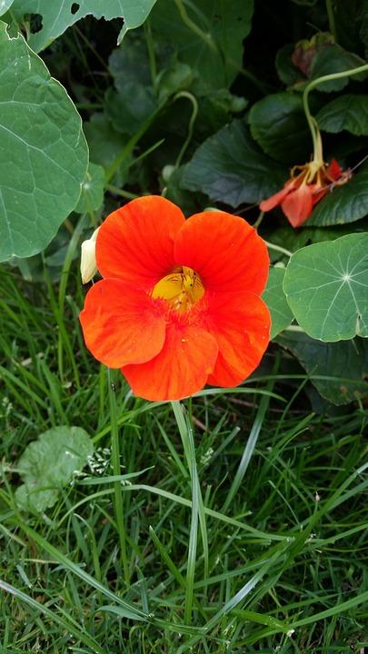 Nasturtium, Flower, Blossom, Bloom, Close, Orange