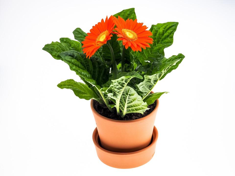 Gerbera, Flower, Pot, Plant, Close, Blossom, Bloom