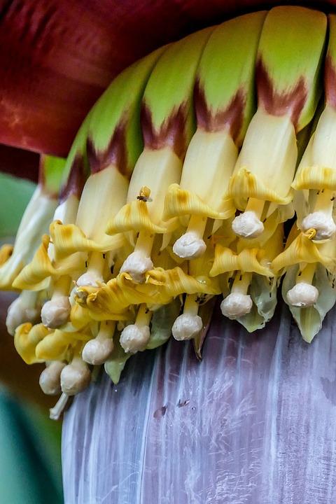 Banana Shrub, Blossom, Bloom, Plant, Close, Vietnam