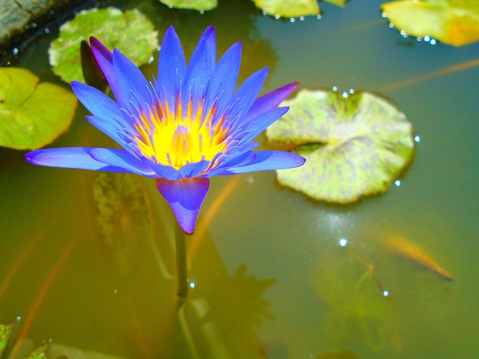 Flower, Close-up, Water, Violet, Leaf, Bloom, Sharp