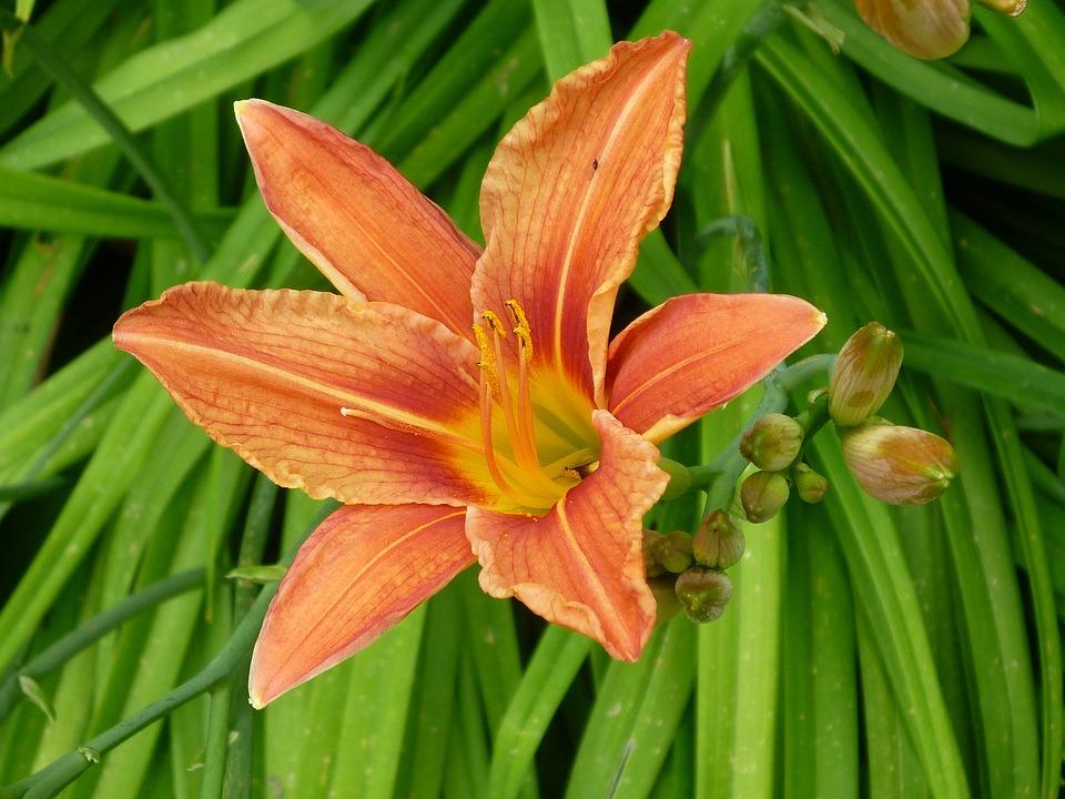 Feuerlilie, Color Orange, Blossom, Bloom
