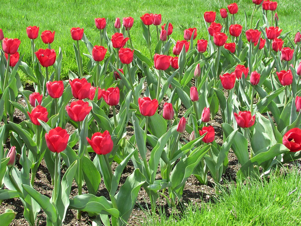 Tulips, Flowers, Spring, Blossom, Colorful, Red, Bloom
