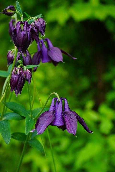 Columbine, Blossom, Bloom, Common Akelei, Garden Plant
