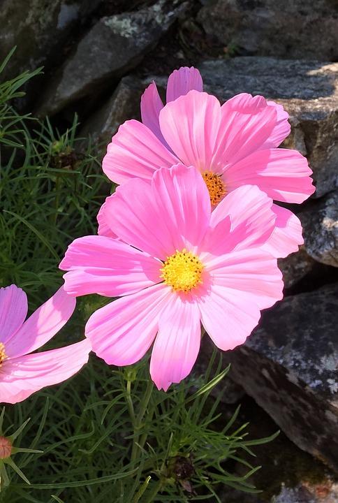 Macro, Cosmo, Pink, Flower, Bloom, Blossom, Birthday