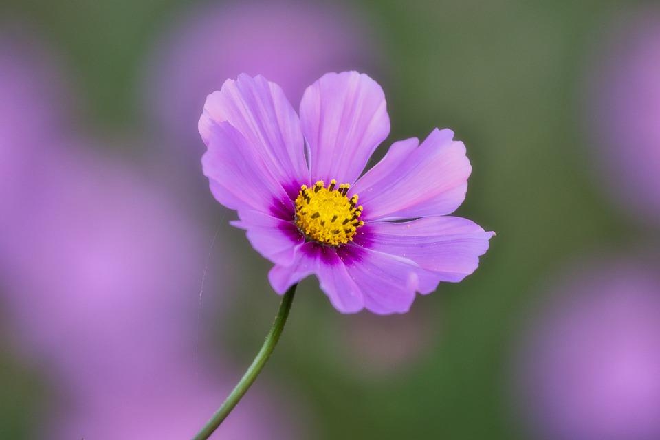 Cosmos, Cosmea, Beauty, Blossom, Bloom, Purple