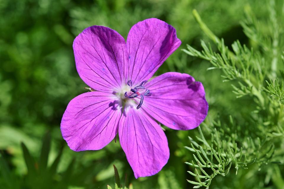 Cranesbill, Flower, Blossom, Bloom, Purple, Tender