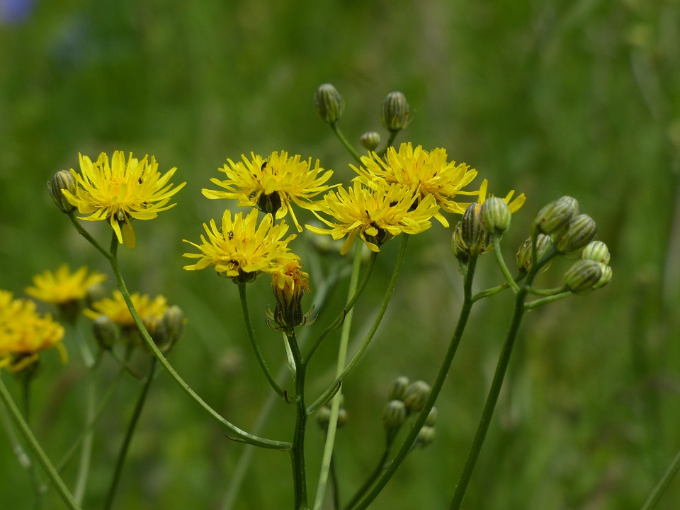 Reported Hawksbeard, Crepis Biennis, Blossom, Bloom