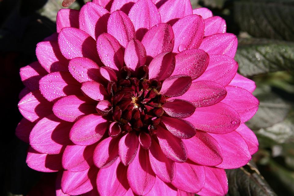 Blossom, Bloom, Dahlia, Pink, Bloom, Petals