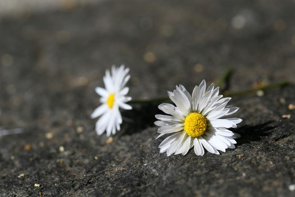 Daisy, Spring, Blossom, Bloom, Close Up, White