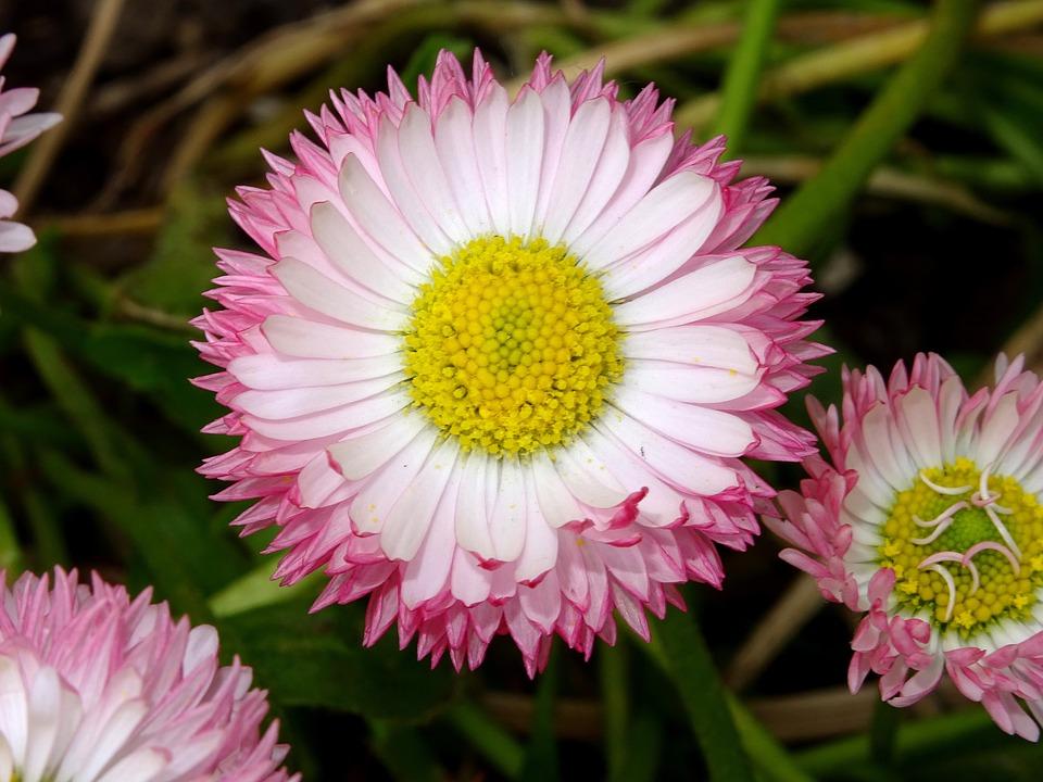 Tausendschön, Daisy, Composites, Blossom, Bloom, Flower