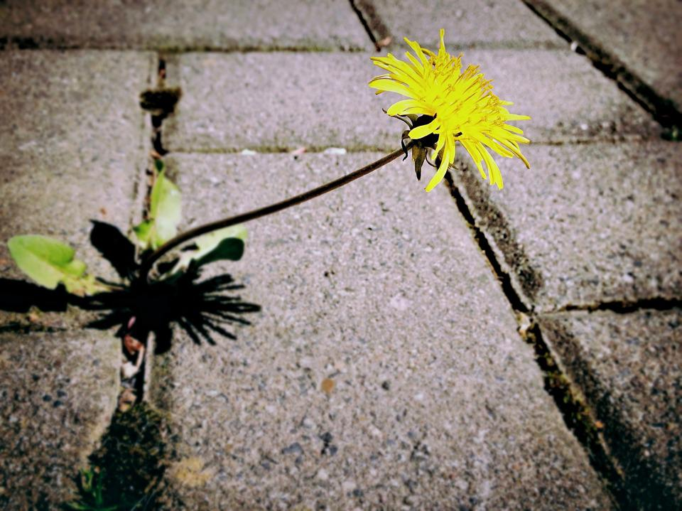 Dandelion, Weed, Flower, Blossom, Bloom, Yellow